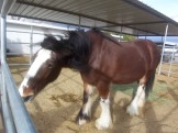 Ok so she's not 'fat' but she is big, this is Red Rock( or Red for short) a Clydsdale mare(female horse).